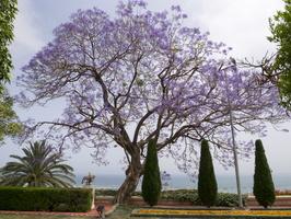 Jacaranda mimosifolia flowering · mėlynasis palisandramedis žydi
