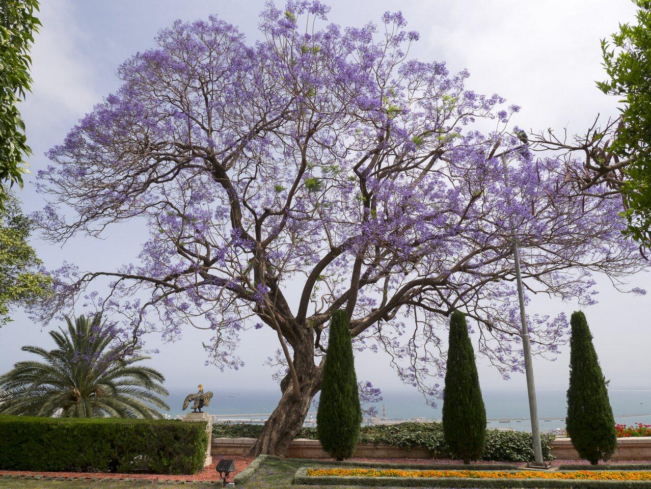 Jacaranda-mimosifolia-P1030542.jpg