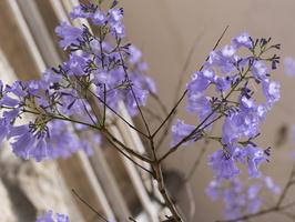 Jacaranda mimosifolia flowering · mėlynasis palisandramedis žiedai