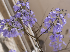 Bignoniaceae · bignonijiniai