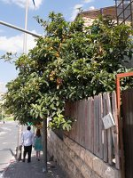 Eriobotrya japonica · japoninė lokva