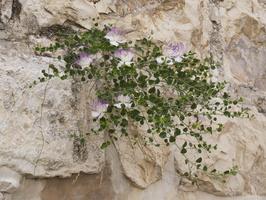 Capparaceae · kapariniai