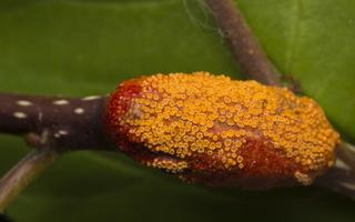 Puccinia coronata · vainikuotoji rūdė 4634