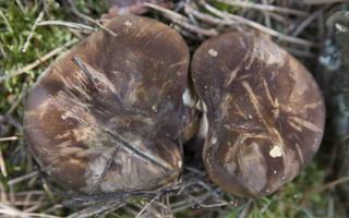 Tapinella atrotomentosa · juodkotė meškutė