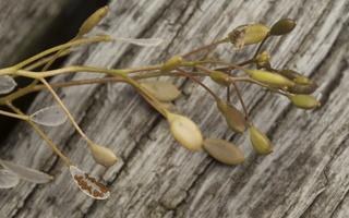 Draba verna · pavasarinė anksta 4331