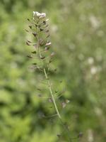 Capsella bursa-pastoris · trikertė žvaginė