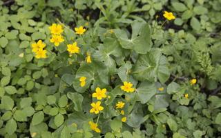 Caltha palustris · pelkinė puriena