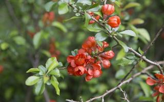 Chaenomeles japonica flowering · japoninis svarainis žydi