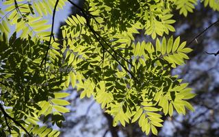 Sorbus aucuparia leaves · paprastasis šermukšnis, lapai