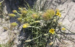 Tragopogon heterospermus mutant ? · baltijinis pūtelis, mutantas?