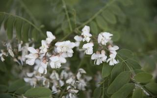 Robinia pseudoacacia · baltažiedė robinija