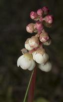 Pyrola media flower · vidutinioji kriaušlapė, žiedynas