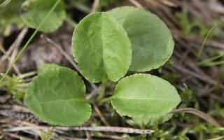 Pyrola media leaves · vidutinioji kriaušlapė, lapai