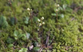 Pyrola chlorantha · žaliažiedė kriaušlapė