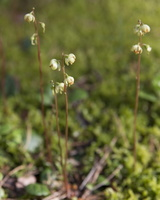 Pyrola chlorantha · žalsvažiedė kriaušlapė