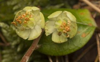 Pyrola chlorantha flowers · žalsvažiedė kriaušlapė, žiedai