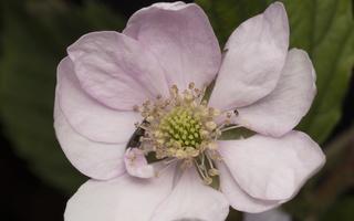Rubus plicatus flower · raukšlėtoji gervuogė, žiedas
