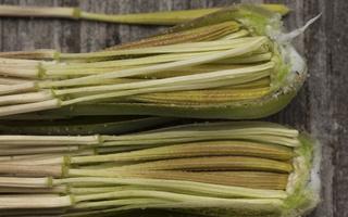 Tragopogon heterospermus seeds · baltijinis pūtelis, sėklos