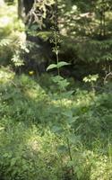 Scrophularia nodosa · nariuotasis bervidis