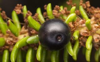 Empetrum nigrum, berry · juodoji varnauogė, uoga