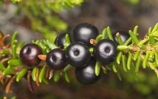 Empetrum nigrum, berries · juodoji varnauogė, uogos