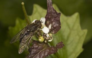 Syrphidae · žiedmusės 4323