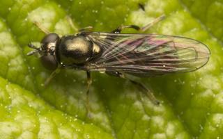 Syrphidae · žiedmusės 4329