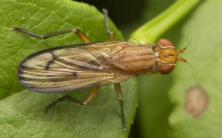 Tetanocera phyllophora · sraigžudė 4396