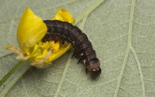 Eupsilia transversa caterpillar · plėšrusis vėlyvis, vikšras 4399