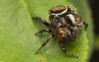 Evarcha falcata mating · blizgantysis musėgaudis poruojasi