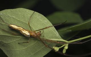 Tetragnathidae · storažandžiai 4411