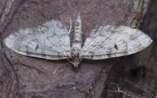 Eupithecia tantillaria · eglinis sprindytis