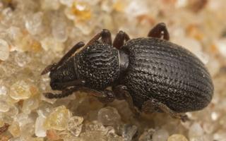 Otiorhynchus ovatus · kiaušiniškasis pjovėjas