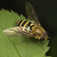 Syrphus torvus · žiedmusė