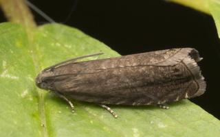 Cydia nigricana · žirninis vaisėdis