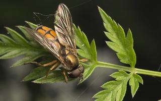 Syrphidae · žiedmusės 4481