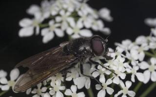 Syrphidae · žiedmusės 4483