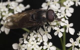 Syrphidae · žiedmusės 4485