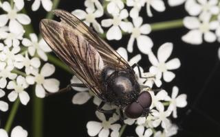 Syrphidae · žiedmusės 4486