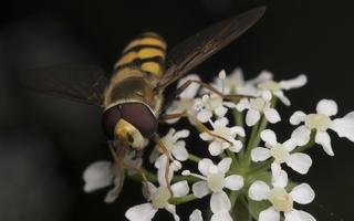 Eupeodes corollae male · žiedmusė ♂