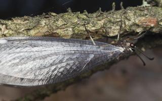 Myrmeleon formicarius · paprastasis skruzdžių liūtas
