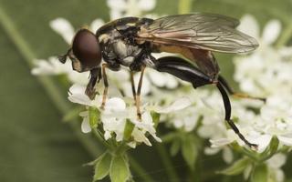 Tropidia scita female · žiedmusė ♀
