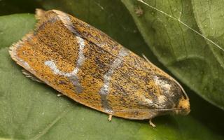 Ptycholoma lecheana · švinajuostis lapsukis