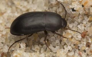 Crypticus quisquilius · krypūnėliškasis juodvabalis