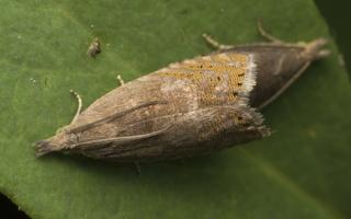 Dichrorampha plumbana · rudakraštė dikroramfa