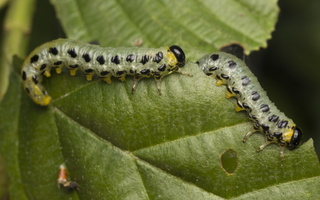 Craesus septentrionalis larvae · šiaurinis beržinis pjūklelis, lervos 4658