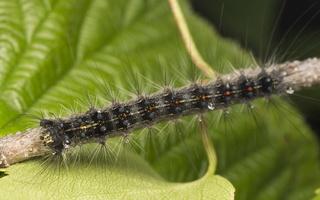 Lymantria dispar caterpillar · neporinis verpikas, vikšras