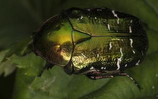 Cetonia aurata · paprastasis auksavabalis