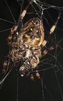 Araneidae · kryžiuočiai