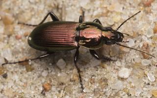 Poecilus lepidus · vikrusis smiltžygis